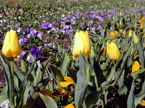 Some of the Tulips
